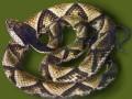 野生五步蛇 (4)