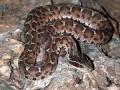 蝮蛇(Agkistrodonhalys) (5)