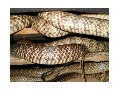 商品水律蛇 (10)