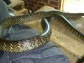我养的水律蛇 (10)