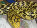 大王蛇 (109)