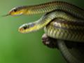乌梢蛇 (57)