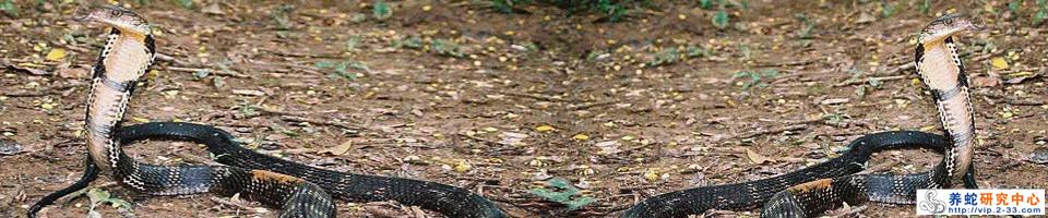 眼镜王蛇(Ophiophagus hannah)