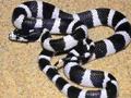 银环蛇(Bungarus multicinctus) (9)