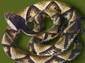 五步蛇 (101)