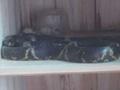 棕黑锦蛇 (2)