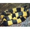 广西蛇苗,五步蛇,眼镜王蛇,金环蛇,银环蛇,烙铁头蛇 腹蛇
