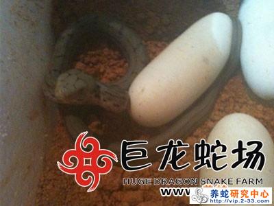 大王蛇蛇苗出壳