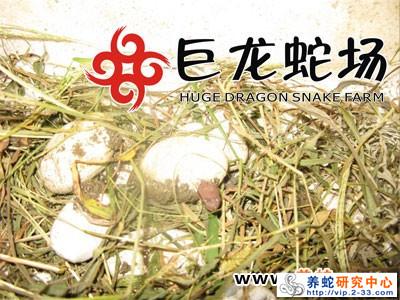五步蛇蛇苗出壳上市