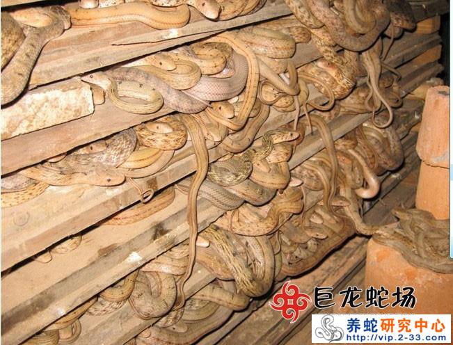 大王蛇养殖技术