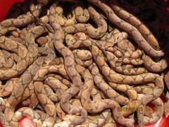 五步蛇幼蛇的灌喂方法