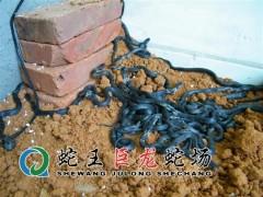 眼镜蛇幼蛇养殖 (18)