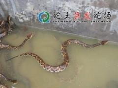 五步蛇养殖 (20)