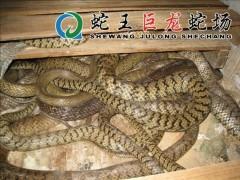 水律蛇养殖 (19)
