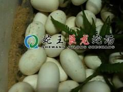蛇蛋(蛇卵) (10)