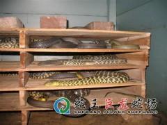 王锦蛇养殖 (10)