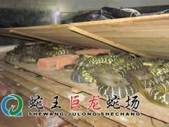 大王蛇养殖 (11)