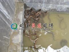 五步蛇散养 (14)