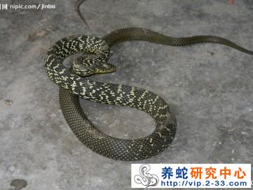 肺炎是养蛇过程中危害最严重蛇皮肤病肺炎防治