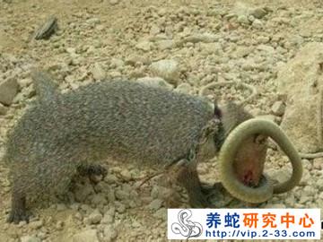 蛇疾病的防治:蛇类天敌