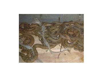 幼蛇的饲喂方法