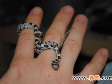 幼蛇的饲养密度和温、湿度的控制