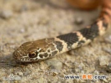 养蛇投喂技术 ()