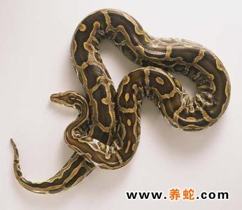 如蟒蛇鳞片的缝隙中有扁虱寄生危害,可造成不成片的脱皮现象,严重寄生