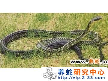 乌梢蛇的饲养与管理