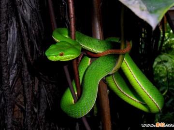 竹叶青蛇饲养管理与病敌害防治