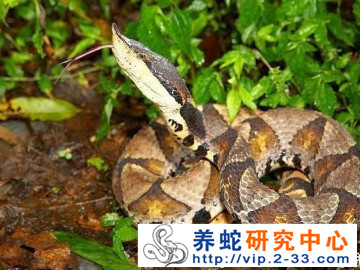 五步蛇饲养管理与病敌害防治