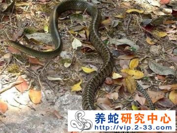 滑鼠蛇饲养管理与病敌害防治