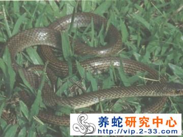 灰鼠蛇饲养管理与病敌害防治