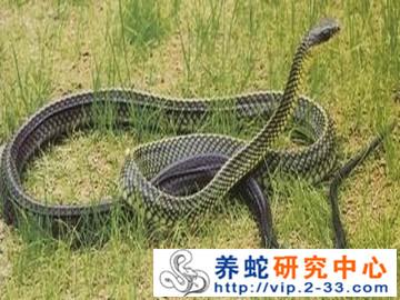 乌梢蛇饲养管理与病敌害防治