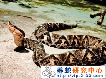 五步蛇的繁殖习性