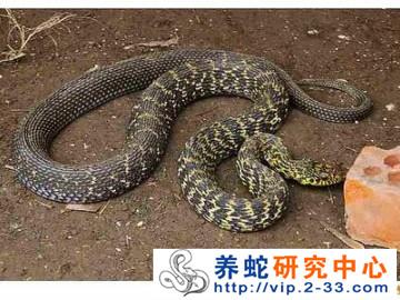 大王蛇的休眠