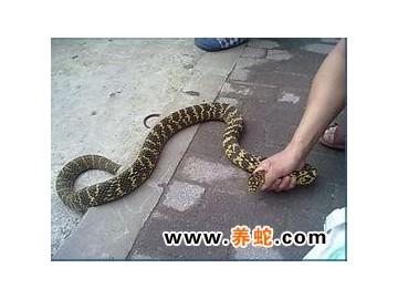 大王蛇的生长