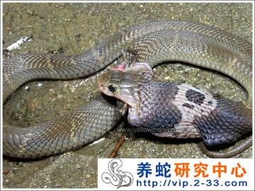 眼镜蛇的食性与摄食