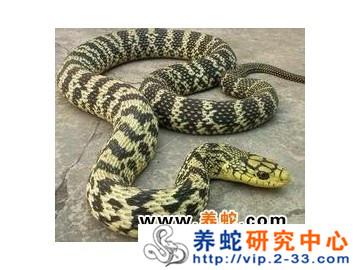 大王蛇的食性与摄食