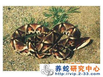五步蛇的生活习性