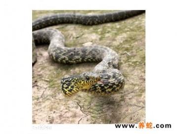 大王蛇的爬行方式