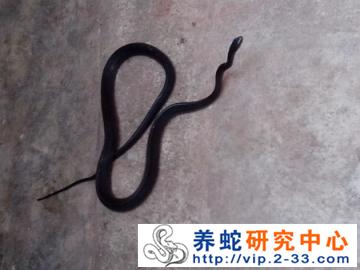 乌梢蛇的嗅觉