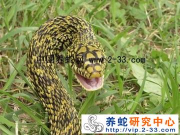 王锦蛇的饲养与管理