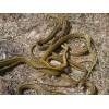 乌梢蛇种蛇