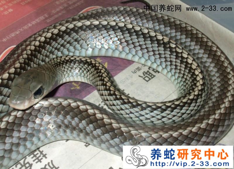 养蛇_蛇养殖_养蛇技术_养蛇视频_中国养蛇网-养蛇行业
