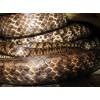 2014年水律蛇种蛇