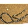眼镜王蛇蛇苗