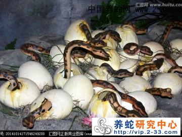 蛇蛋的孵化及方法