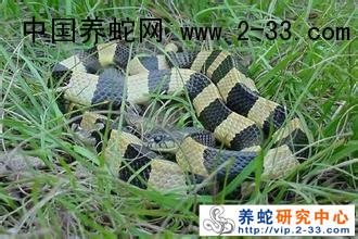 成蛇的冬眠