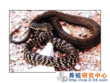 打破冬眠饲养幼蛇技术